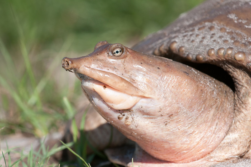 • Florida Softshell Turtle<br /> • Only a face a mother could love