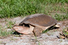 • Florida Softshell Turtle<br /> • She is on the way back to Dan's Clink Pond after she finished laying her eggs