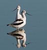 • American Avocet<br /> • Guys, can't you make up your minds which way we want to go?