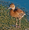 • Juvenile Black-Bellied Whistling Duck<br /> • Time to dry off
