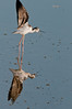 • Black-necked Stilt<br /> • Ready for take-off