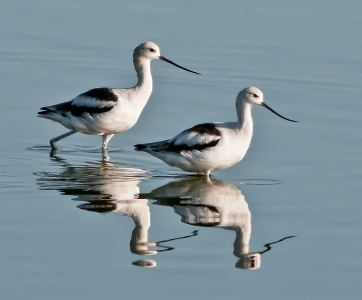 • American Avocet<br /> • We on a mission
