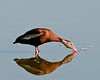 • Black-Bellied Whistling Duck<br /> • Time for a drink of water