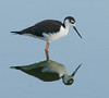 • Black-necked Stilt<br /> • Yep, I'm looking pretty good