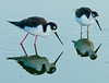 • Black-necked Stilt<br /> • We on a mission to find some food