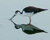 • Black-necked Stilt<br /> • Darn, I missed it again