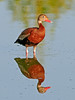 • Black-Bellied Whistling Duck<br /> • Just a nice portrait