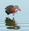 • Black-Bellied Whistling Duck<br /> • Yes, we get itches too