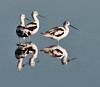 • American Avocet<br /> • Follow me!