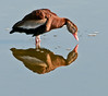 • Black-Bellied Whistling Duck<br /> • I can see something down there
