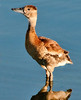 • Juvenile Black-Bellied Whistling Duck<br /> • Hey, where is everybody at?