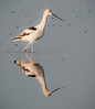 • American Avocet<br /> • Not a bad looking reflection