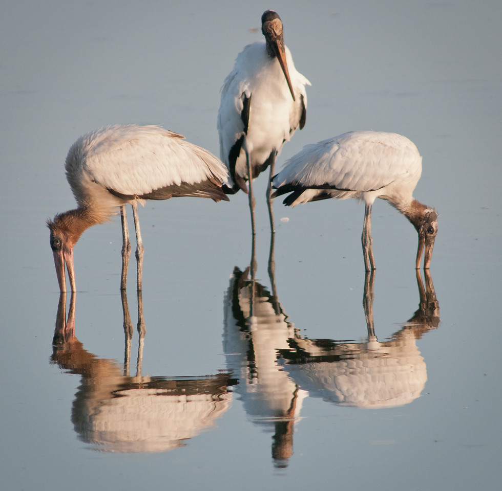 • Wood Stork<br /> • Is that Larry, Moe, Curly?
