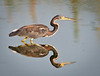• Tri-colored Heron<br /> • Looking for his next fish