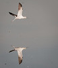 • American Avocet<br /> • Is this a stunt bird or a???