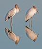 • Wood Stork<br /> • Eyes left