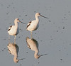 • American Avocet<br /> • Lets head east!