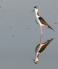 • Black necked Stilt<br /> • Standing at attention