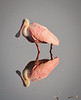 • Roseate Spoonbill<br /> • Did you notice my pink eye?
