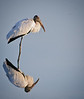 • Wood Stork<br /> • Is that a real reflection?