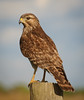 • Red-shouldered Hawk<br /> • Left side profile
