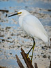 Snowy Egret just hanging out for me to take its photo