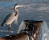 Great Blue Heron - I guess he waiting for a fish to jump out of spill over pipe.