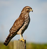 • Red-shouldered Hawk<br /> • Right side profile