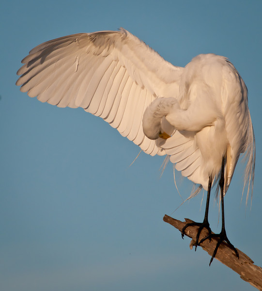 Great Egret preening itself