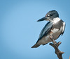 The elusive Belted Kingfisher