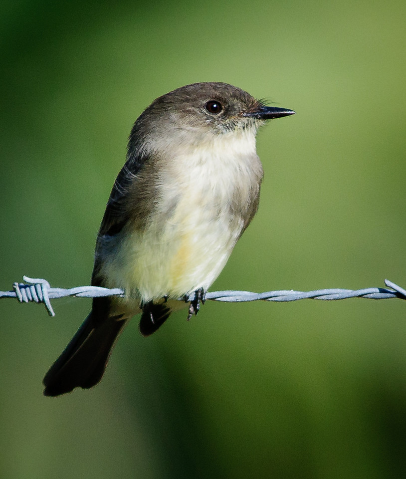 A Eastern Phoebe just hanging on the barb wire fence