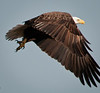 A Bald Eagle in flight.