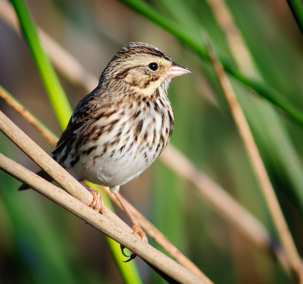 Savannah Sparrow - Cute little thing!