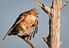 Red-shouldered Hawk in the process of pruning itself