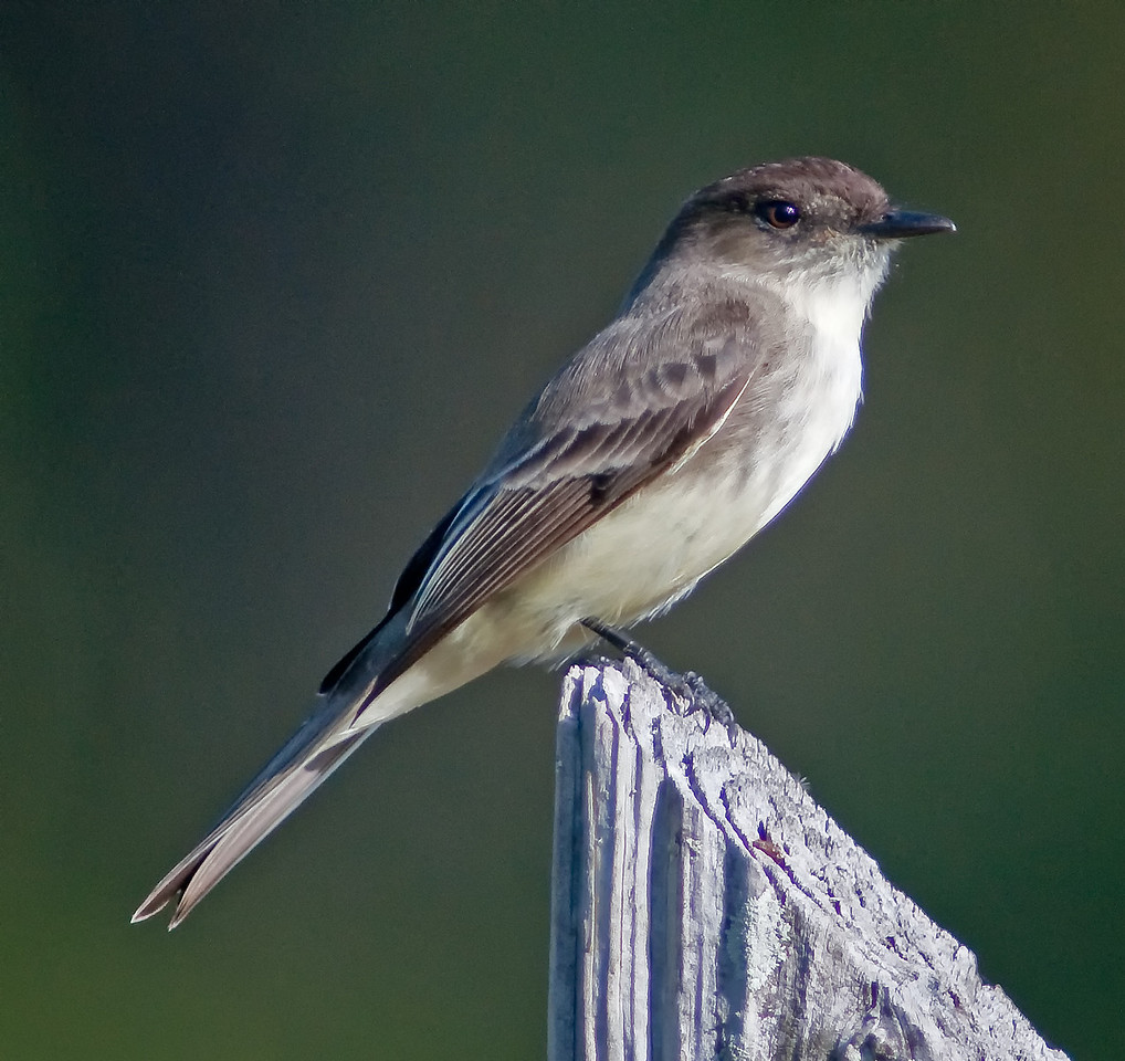 Nice portrait of a Eastern Phoebe