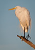 Just a nice portrait of a Great Egret.