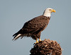 A Bald Eagle!
