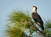 This is the first time I saw a Crested Caracara in this tree for over 2 years. You can notice he has 4 tags on his legs.