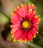 Just a Blanket flower.