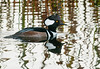 Unfortunately the sun light was coming towards me, so I had to use my flash to capture the image male Hooded Merganser.