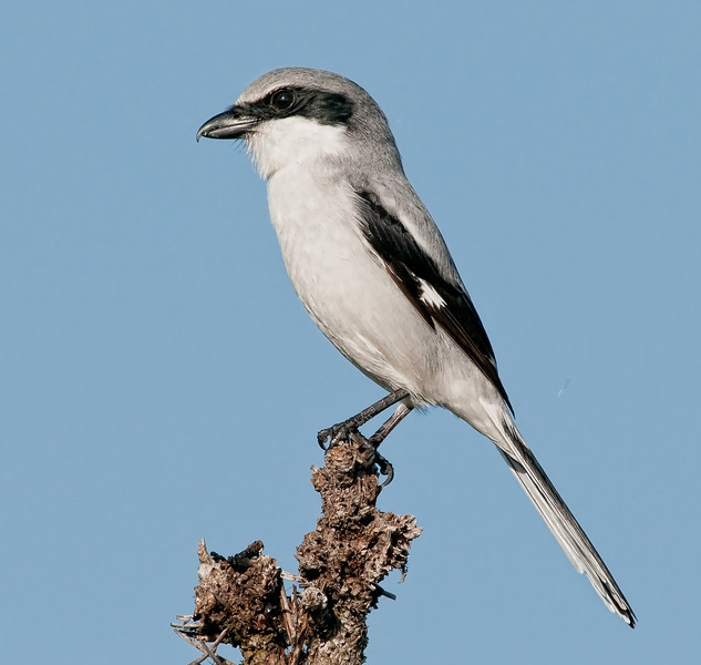 A Loggerhead Shrike posing for me on the top of a tree along roadway on the  western part of the wetlands.