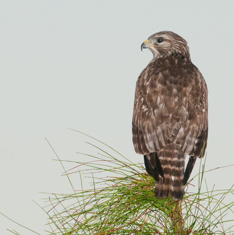 I took this Red-shouldered Hawk as I was driving down the northern road that goes east and west.  I had to use my flash to capture this image.
