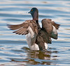 Male Ring-necked duck flapping its wings