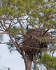 I saw no activity in the Eagle's Nest on the south road at Moccasin Island Tact