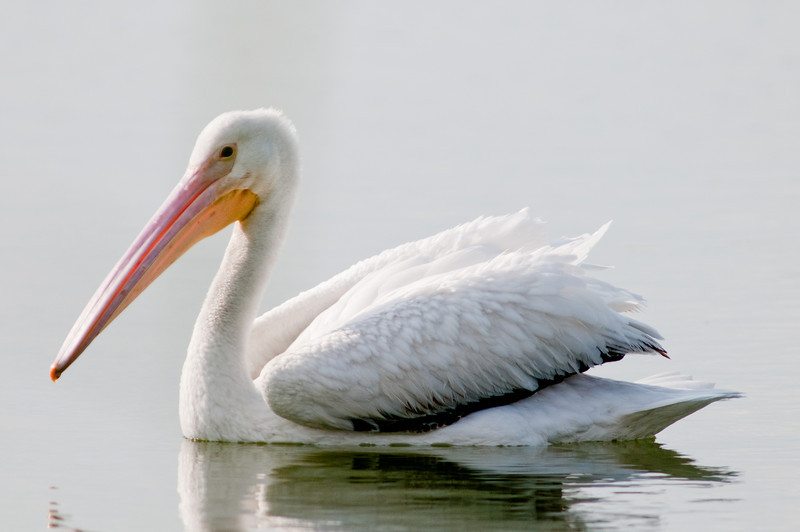 American White Pelican on the move