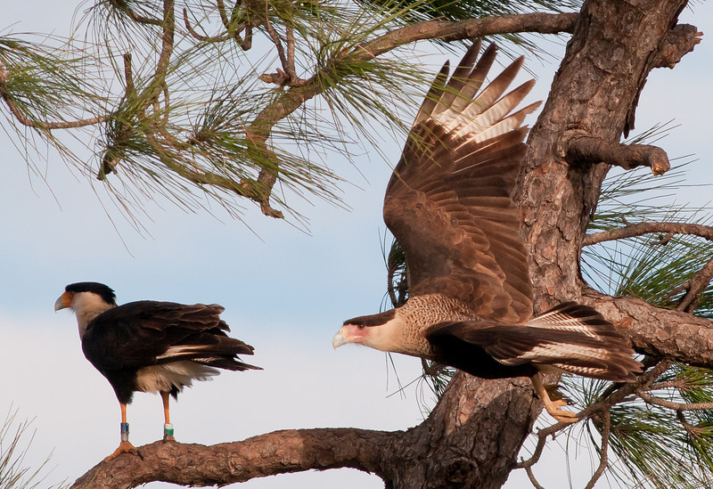 A juvenile Crested Caracara flying by its parent