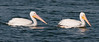 Just a pair of American White Pelicans