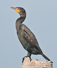Look at those bluish eyes of the Double-crested Cormorant