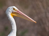 • American White Pelican <br /> • Close-up of my beautiful head
