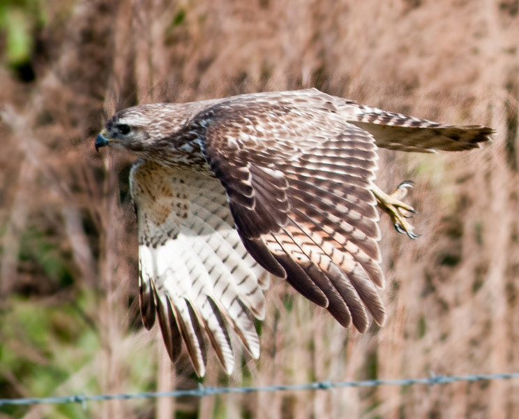 • Immature  Red-shouldered Hawk<br /> • You just missed hitting the barbed wire fence